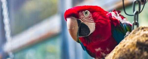鹦鹉一般能活多久