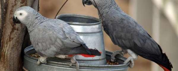 鹦鹉一只脚站着正常吗
