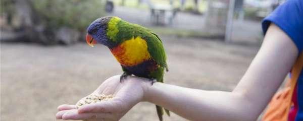 中型鹦鹉有哪些品种