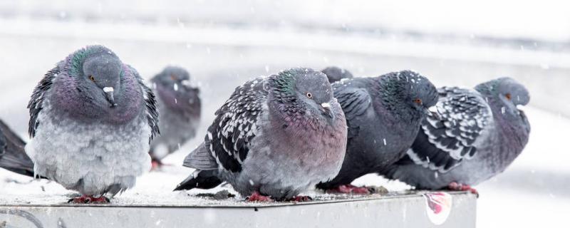 鸽子会不会冻死