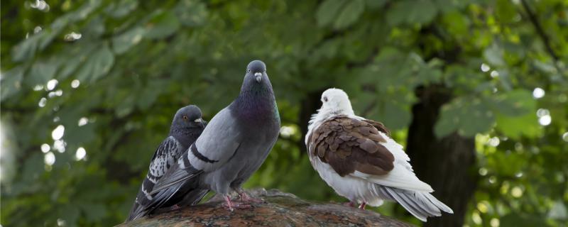 鸽子一生只认一个家吗