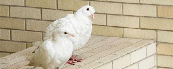 鸽子喜欢吃什么粮食