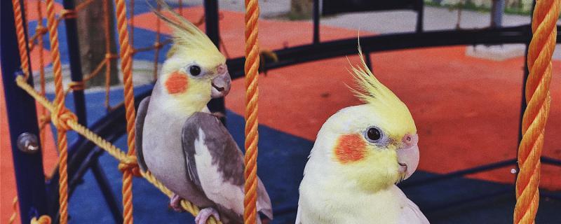 鹦鹉蛋在多少度的温度下可以孵化