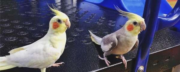 小鹦鹉吃什么食物