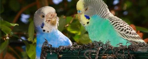 鹦鹉喂完吐奶是什么原因