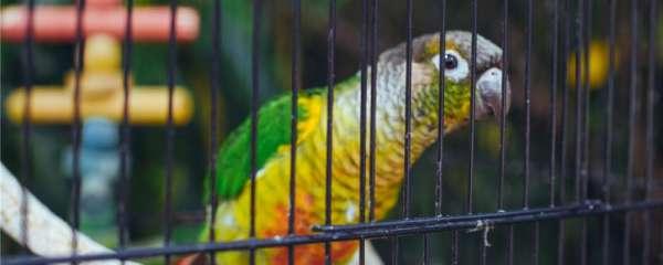 鹦鹉的鸟窝在笼子里怎么放