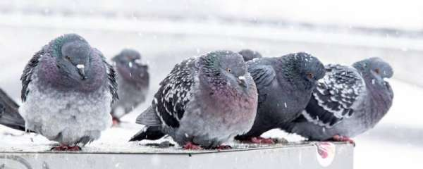 冬天幼鸽多少天不用保温