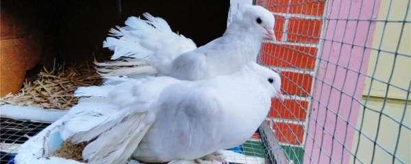 鸽子怎么睡觉