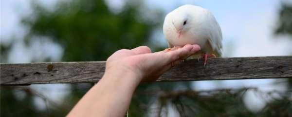 鸽子只喂稻谷会下蛋吗
