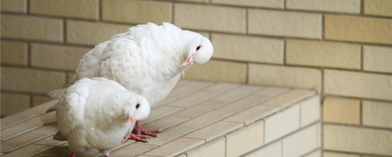 鸽子为什么总是啄自己的毛