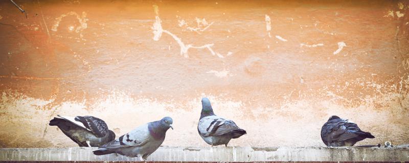六只鸽子放在一起会配对吗