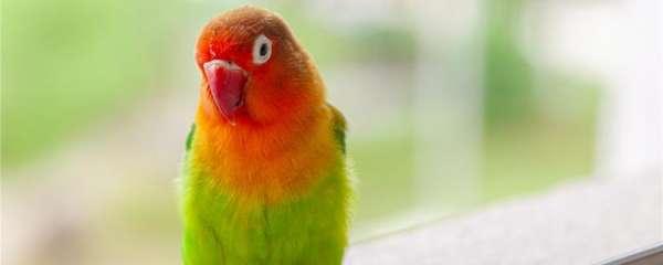 家养牡丹鹦鹉注意事项