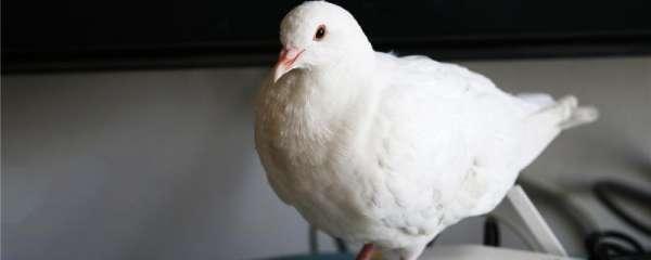 鸽子一般几个月开始下蛋