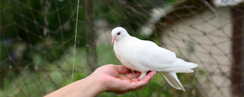 鸽子缺钙站不起来怎么办