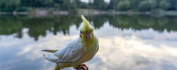 刚破壳的小鹦鹉怎么养