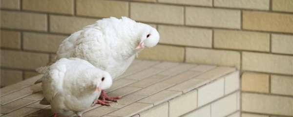 鸽子破壳能人工帮助吗