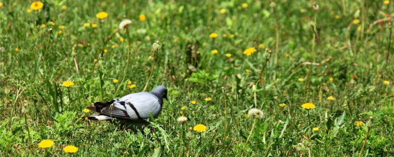 笼养鸽子怎样繁殖快