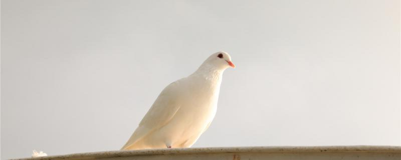 幼鸽养多久才不怕飞走