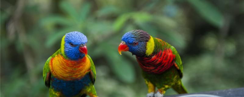 鹦鹉一天吃多少食物