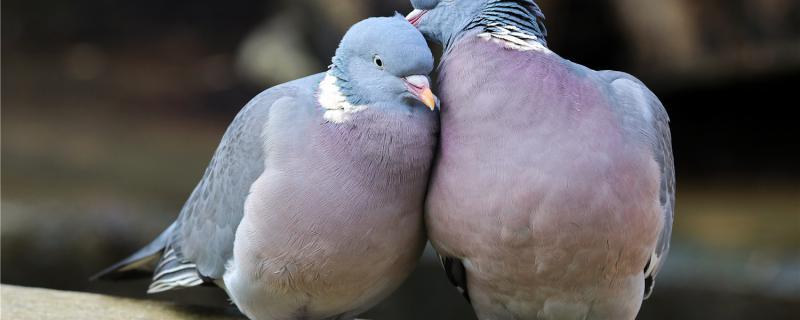 鸽子可以喂大米吗