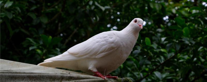 为什么鸽子一直咕咕叫
