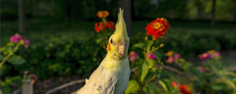 玄凤鹦鹉几个月性成熟