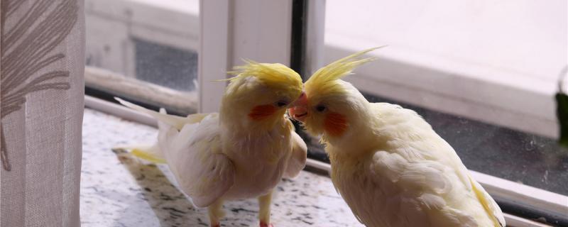 玄凤鹦鹉太吵了怎么办