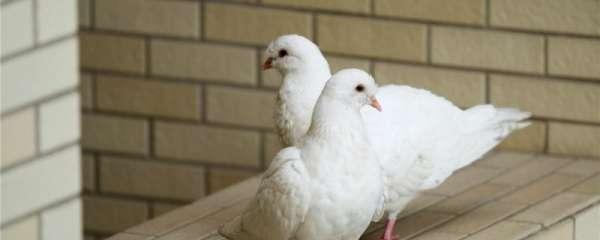 人工孵化鸽子怎么喂养