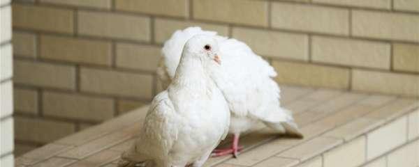 幼鸽一般多久可以配对