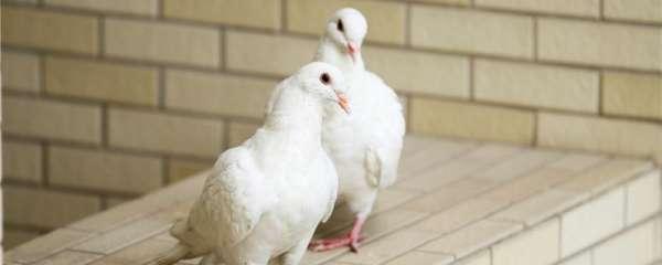幼鸽如何辨别雌雄