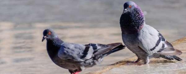 鸽子打架咕咕叫是公母