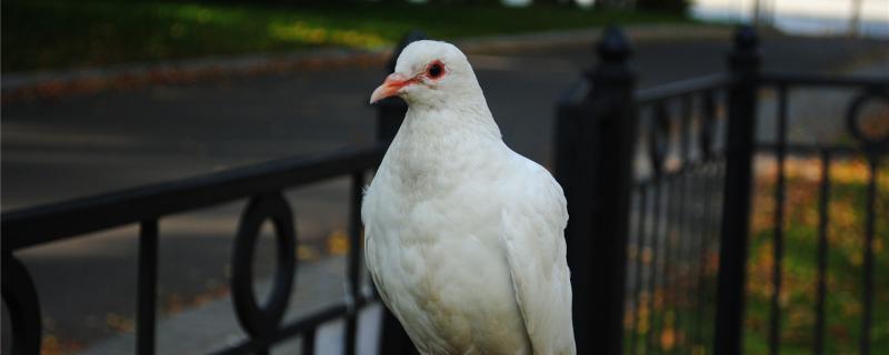 鸽子不喂幼鸽什么原因