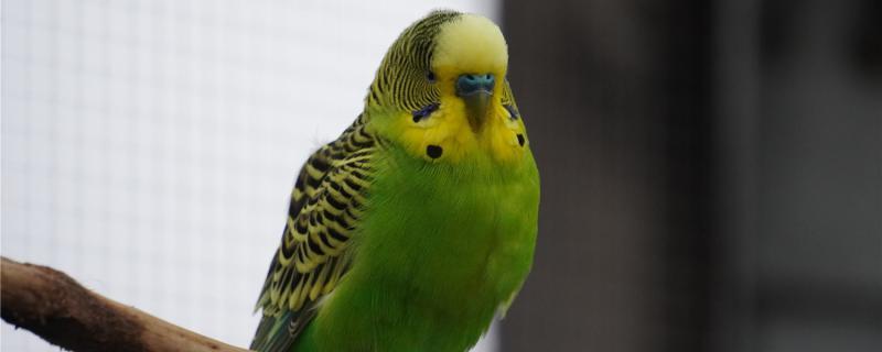 虎皮鹦鹉可以吃什么蔬菜水果