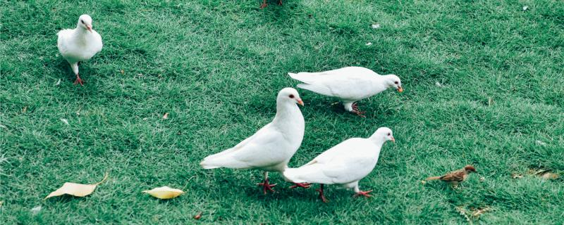 幼鸽怎样分辨公和母