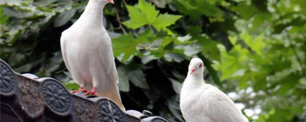 鸽子叼草做窝了要多久下蛋