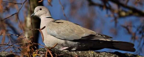 捉回来的野生鸽子能养活吗