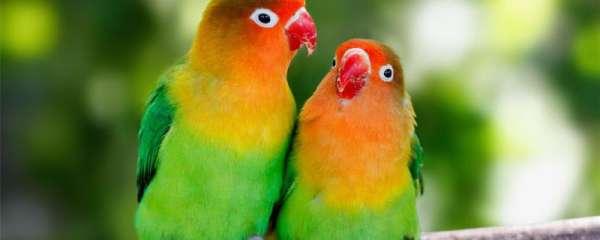 鹦鹉幼鸟多久喂一次