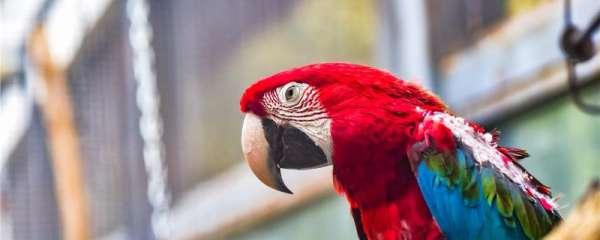 家养鹦鹉会自己繁殖吗