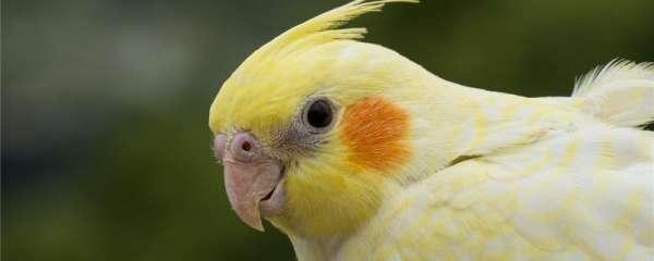 黄化玄凤鹦鹉秃头和不秃头的区别