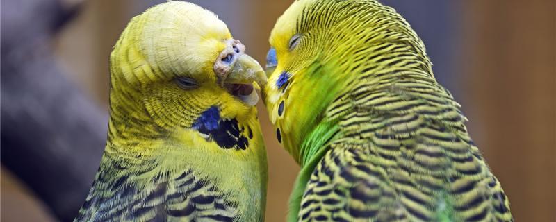 一公两母虎皮鹦鹉能繁殖吗