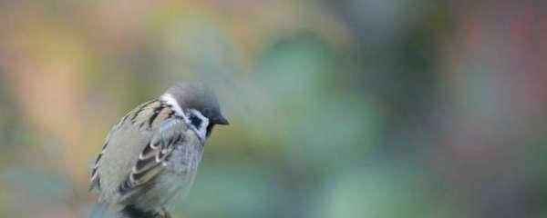 麻雀雏鸟喂养方法