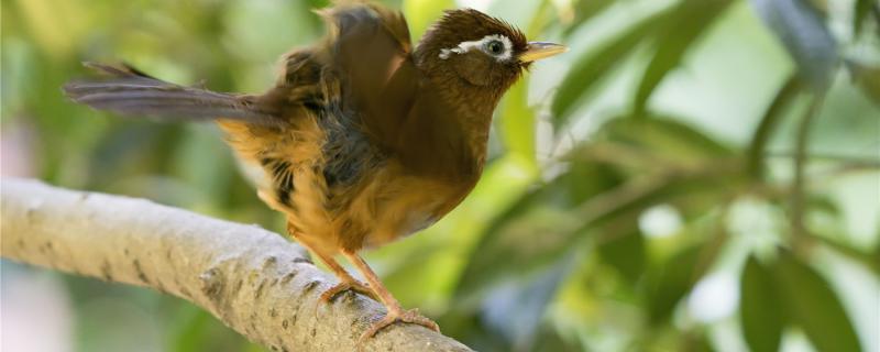 画眉鸟晚上是挂笼还放地上
