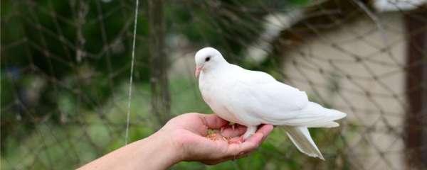 单只母鸽子多久下蛋