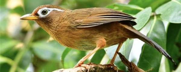 画眉鸟咬毛咬尾吃什么药