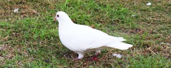 鸽子多久吃一次保健砂