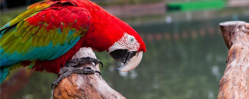 国内为什么禁养大型鹦鹉