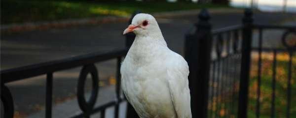 怎么判断鸽子性成熟